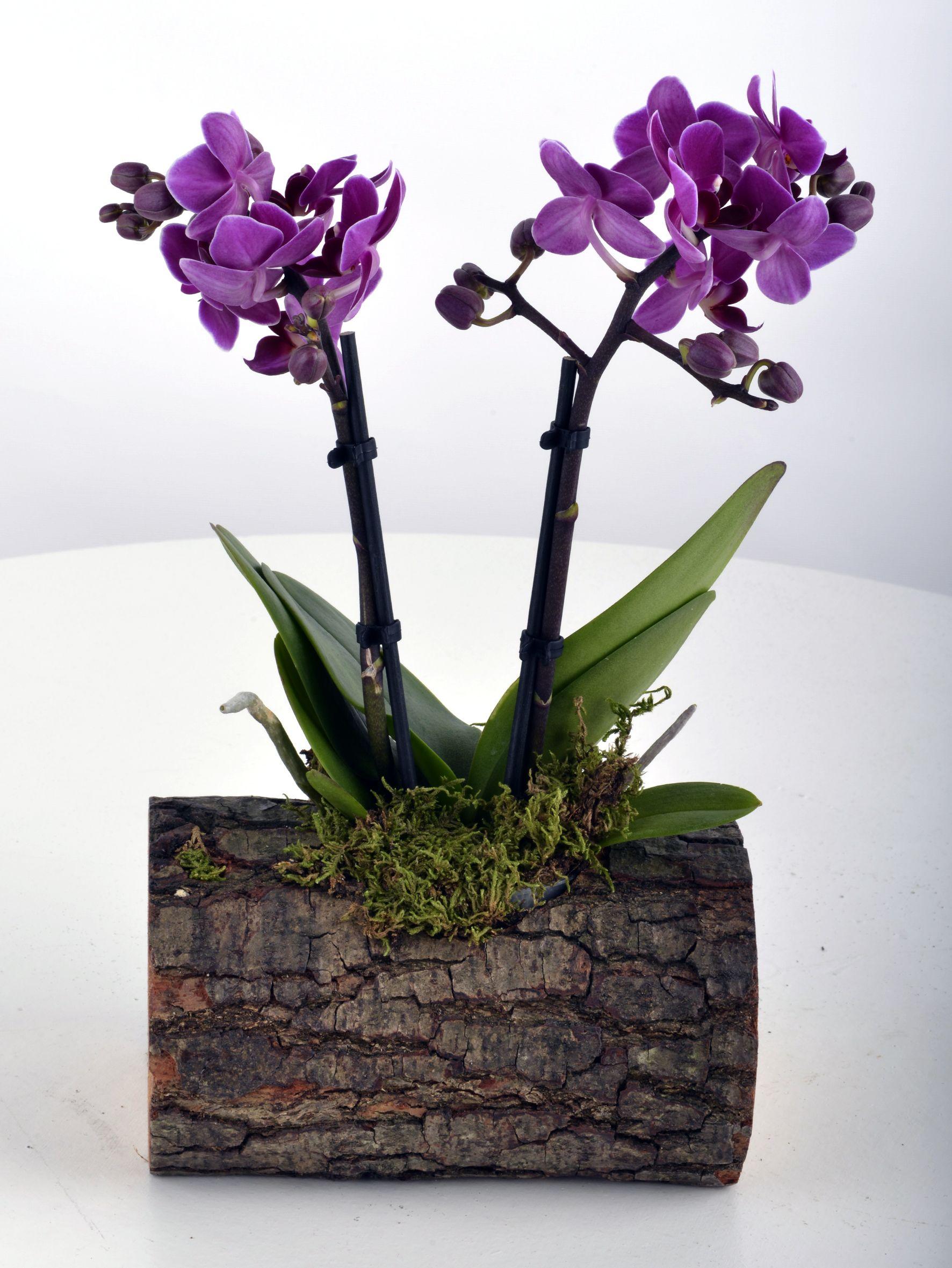 Kütükte Minyatür Orkide  çiçek gönder