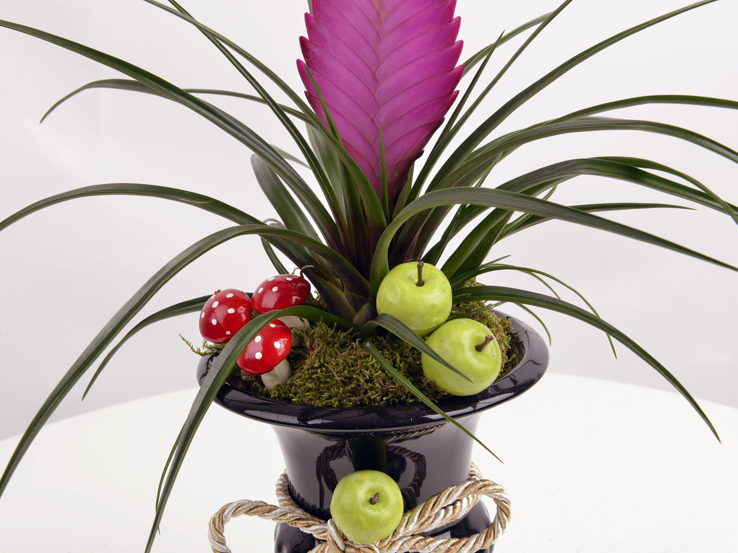 Kupa Seramikte Tilandisia Saksı Çiçeği Saksı Çiçekleri çiçek gönder