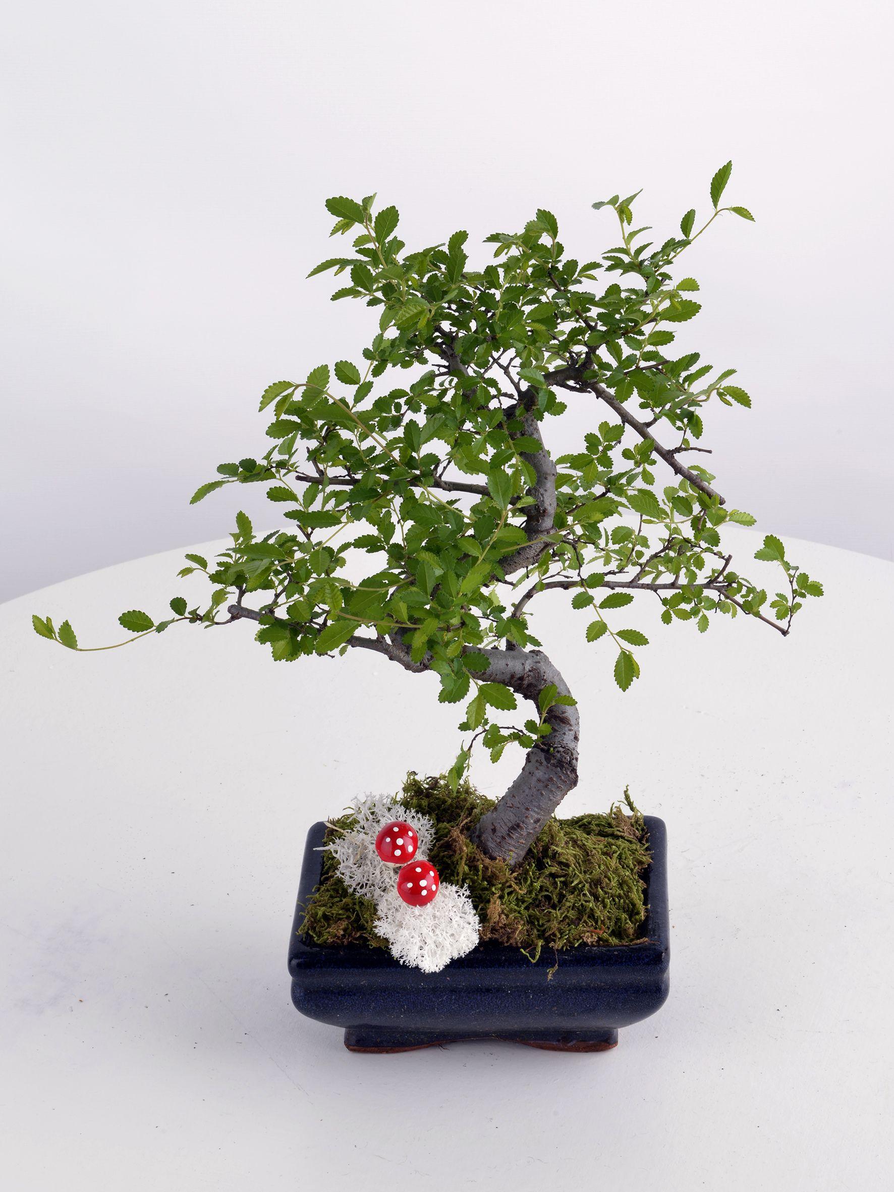 Bonsai Küçük Boy  çiçek gönder