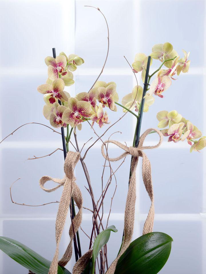 Kış Güneşi Alev Rengi Orkide Çiçeği Orkideler çiçek gönder