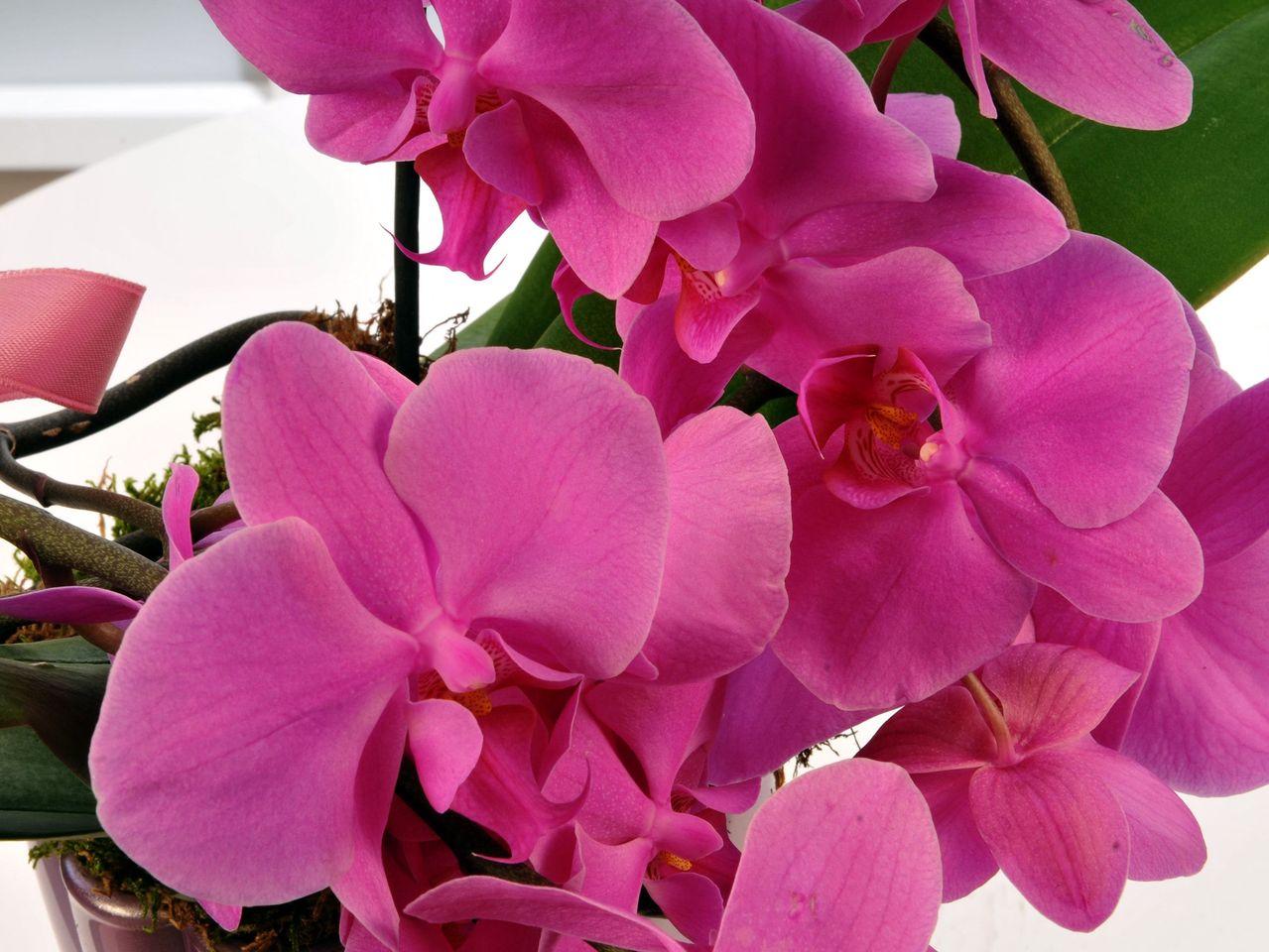 Fuşya Meander Sarmaşık Orkide Çiçeği Orkideler çiçek gönder