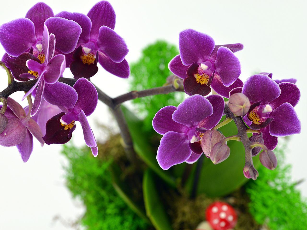 Çocuk Boyu Minyatür Orkide Orkideler çiçek gönder